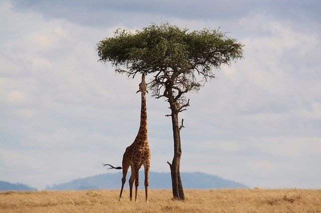 A couple of giraffe standing next to a tree