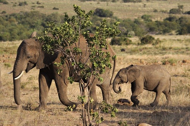 A mother and baby elephant walking through a dry grass field
