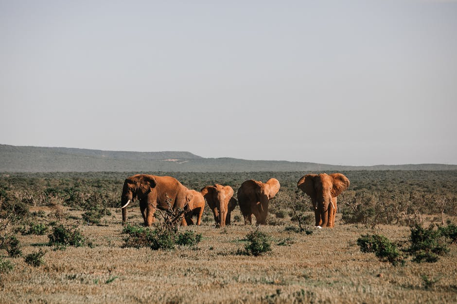 A group of cattle standing on top of a dry grass field